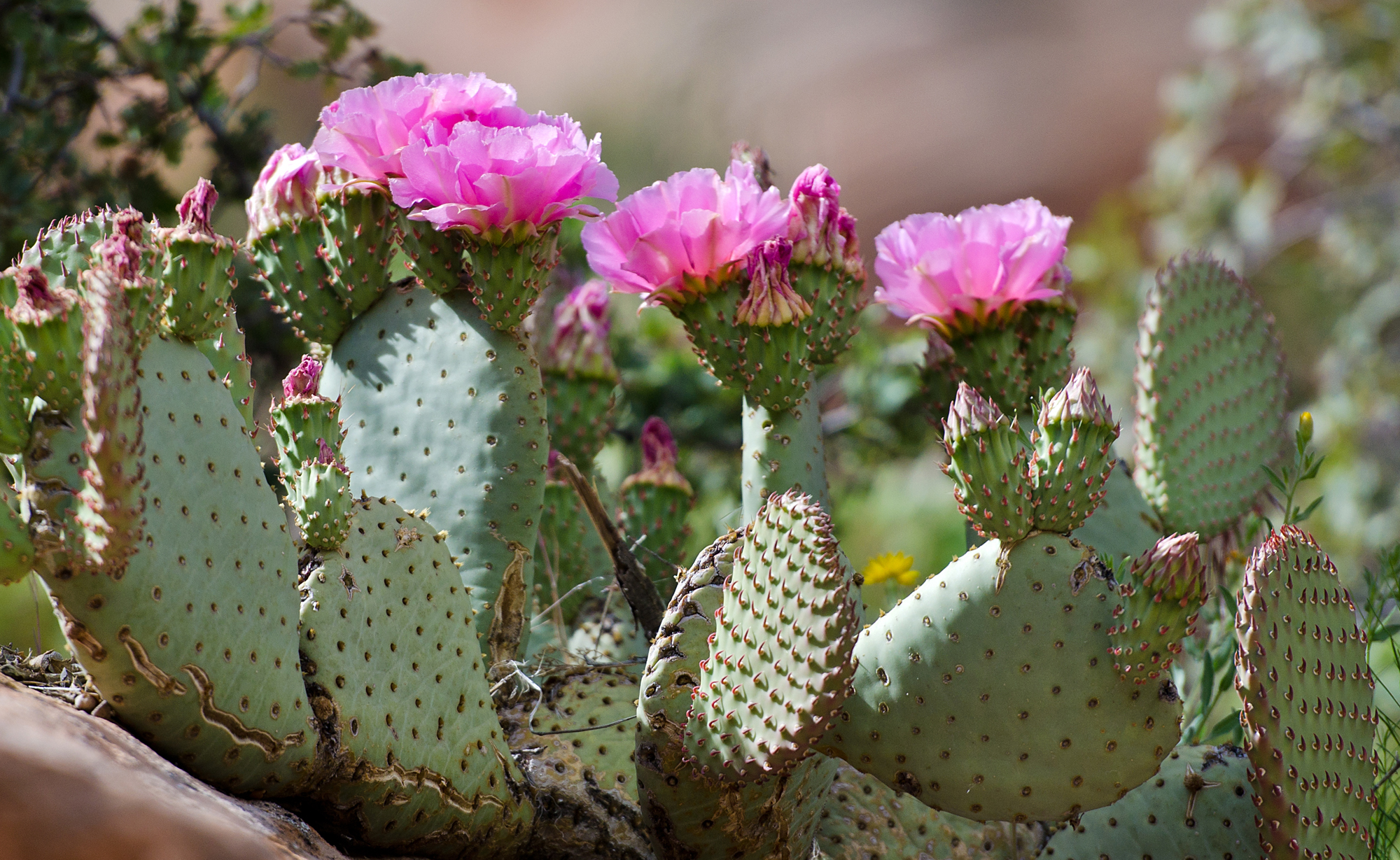 Michael McCollum 5/20/14 Close-up of bevertail cactus flowers.
